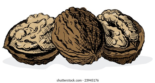 Vintage 1950s walnuts; Detailed black and white from authentic hand-drawn scratchboard includes full colorization.