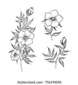 Vintage botanical illustration flower. Flower concept. Botanica concept. Vector design.