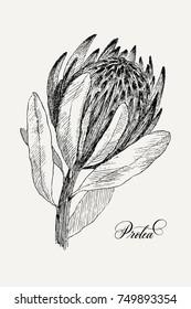 Vintage botanical illustration flower Protea. Flower concept. Botanica concept. Vector design.