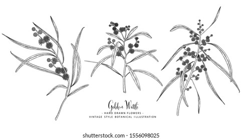 Vintage Botanical Illustration. Golden Wattle (Acacia pycnantha) flower drawings. Black and white with line art on white backgrounds. floral clip art hand drawn group of isolate.