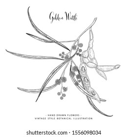 Vintage Botanical Illustration. Golden Wattle (Acacia pycnantha) flower and seed pods drawings. Black and white with line art on white backgrounds. floral clip art hand drawn group of isolate.