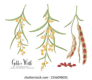 Vintage Botanical Illustration.Golden Wattle (Acacia pycnantha) flower and seed pods drawings. Australia's national flower line art on white backgrounds. floral clip art hand drawn group of isolate
