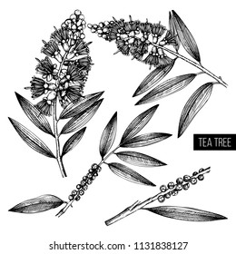 Vintage collection of Hand drawn tea tree (tea olive) sketches on white background. Cosmetics and medical myrtle plant. Vector cajeput tree botanical drawings.