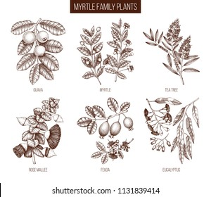 Vintage collection of Myrtle family plants illustrations. Hand drawn myrtus, tea tree, guava fruit, eucalyptus, feijoa sketches. Essential oils ingredients for cosmetics and medicine. Vector drawings.