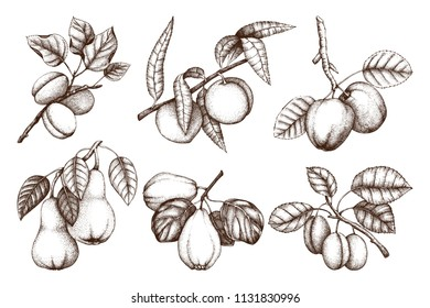 Vintage collection of ripe fruits and berries  - apple, pear, plum, peach, apricot trees sketches. Hand drawn harvest illustrations.  Summer or autumn food set. Vector drawings.