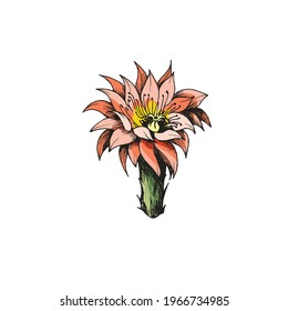Vintage colored blooming cactus or cacti flower, engraving vector illustration isolated on white background. Reddish exotic dessert plant flower hand drawn image.