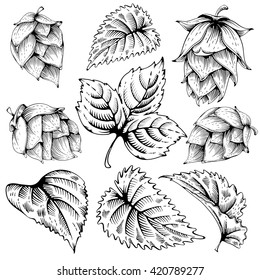 Vintage designs elements set with hops and leaves. Hops hand drawn in artistic engraved style. Monochrome vector illustration. Isolated on white background.