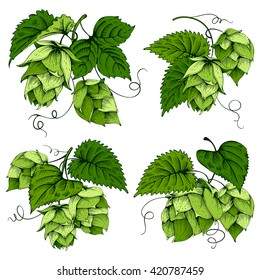 Vintage designs set with hops and leaves. Hops hand drawn in artistic engraved style. Colored vector illustration. Isolated on white background.