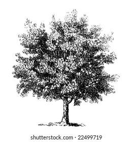 Vintage tree images stock photos vectors shutterstock vintage detailed vector tree chestnut altavistaventures Gallery