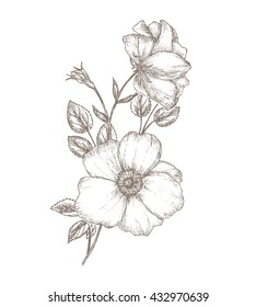 Vintage dog rose sketch. Flower background.  Hand drawn card vector illustration. Wild