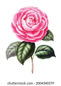 Vintage drawn illustration of cabbage rose free download shutterstock perfect for fabrics, t-shirts, mugs, decals, pillows, logo, pattern and much more!