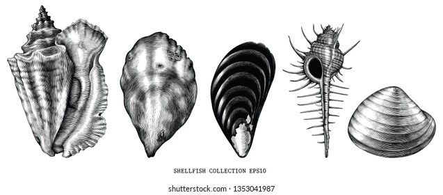 Vintage engraving illustration of common shellfish black and white clip art isolated on white background