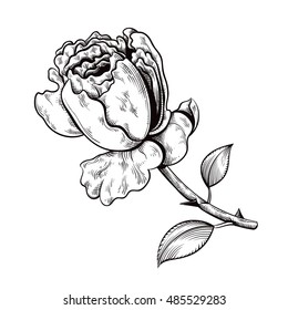 Vintage floral highly detailed hand drawn rose. Isolated outline engraving style vector illustration.
