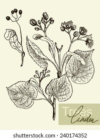 Vintage graphic Vector leaves, flowers and fruits of the linden.