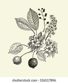 Vintage graphic Vector leaves, flowers and fruits of the wild pear, bird-cherry and crab