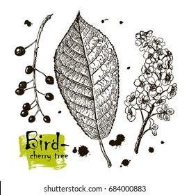 Vintage graphic Vector leaves, flowers and fruits of the bird-cherry tree.