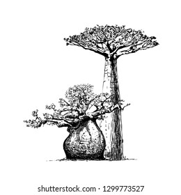 Vintage hand drawn illustration with baobab in engraving style. Sketch of tree on white for design.