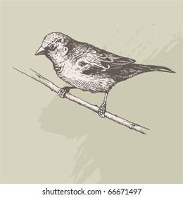 vintage hand drawn - sparrow