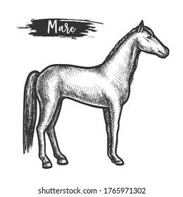 Vintage horse sketch or mare with mane. Wildlife stallion or hand drawn equestrian animal. Engraved chestnut or gray, buckskin racehorse. Mustang sketching. Sport fauna or domestic equine mammal
