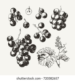 Vintage illustration of ink drawn wine grape
