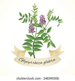 Vintage illustration of liquorice plant (Glycyrrhiza glabra)