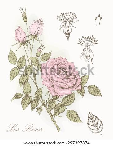 Vintage Rose Botanical Illustration Beauty Floral Stock Vector