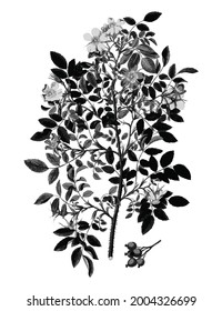 Vintage rose illustration Vintage shrub rose free download shutterstock perfect for fabrics, t-shirts, mugs, decals, pillows, logo, pattern and much more!
