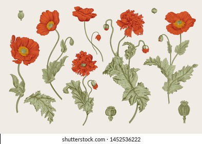 Vintage vector botanical illustration. Red Poppies.