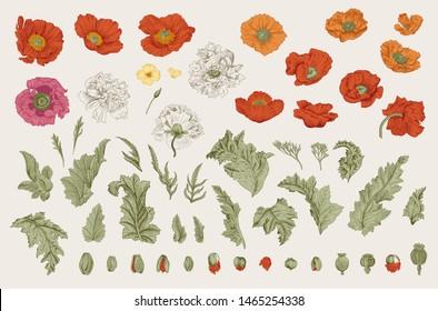 Vintage vector botanical illustration. Set. Poppies of various varieties. Flowers, leaves, buds