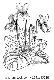 Viola odorata is a species of the genus Viola, native to Europe and Asia, It has white flowers. It has been used in the production of many cosmetic fragrances and perfumes, vintage