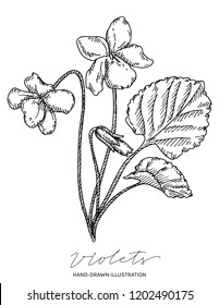 Violets hand drawn ink illustration. Vector black and white drawing of flowers and leaves of Viola odorata