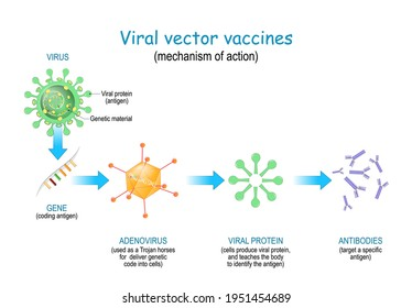 Viral vector vaccines. Vaccine use a safe virus to insert pathogen genes in the cell to produce specific antigens and stimulate an immune response. mechanism of action