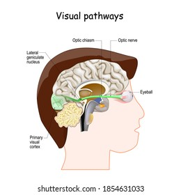 Visual Pathways from Eyeball to Optic nerve, Lateral geniculate nucleus and Primary visual cortex. human head with a cross section of the brain.