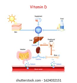 Vitamin D. Sources, metabolism and organs that regulate the level of calcium in the blood. Hormones involved in the process of calcium absorption (calcitriol, PTH, calcidiol). Vector illustration