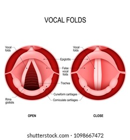 Vocal folds. The Human Voice. The vocal cords open to let air pass through the larynx, into the trachea. The vocal folds are open when we breath in and closed when we want to speak. voice reeds