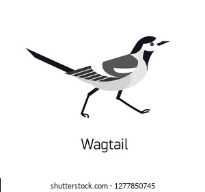 Wagtail isolated on white background. Adorable small insectivorous passerine bird. Wild avian species with black and white plumage. Modern vector illustration in trendy flat geometric style.