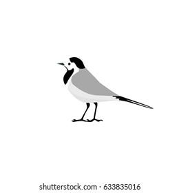 Wagtail. Vector illustration.