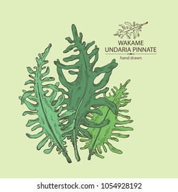 Wakame: undaria pinnate seaweed, wakame leaves. Brown algae. Edible seaweed. Vector hand drawn illustration.