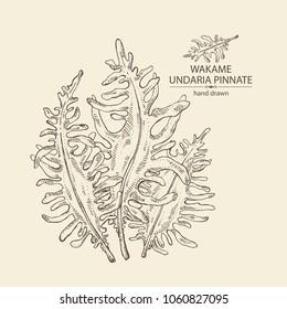 Wakame: undaria pinnate seaweed, wakame leaves. Brown algae. Edible seaweed. Vector hand drawn illustration.