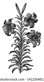 Wallacei is a dicot plant native to California. The flowers are showy and are purple in color that blooms in April and May. The berries of this plant are poisonous, vintage line drawing or engraving