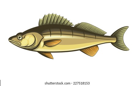 walleye fish color engraving vector illustration