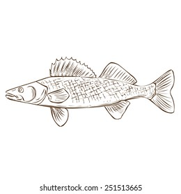 Walleye. Hand drawn vector illustration. Isolated on white