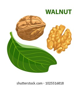 Walnut with leaf isolated on white background. Color image for template label, packing and emblem farmer market design. Vector illustration in cartoon flat style.
