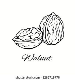 Walnut Line Art hand-drawn Vector Illustration isolated on white background
