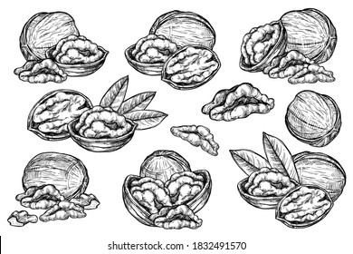 Walnut pieces set. Isolated flat open walnut with leaves sketch icons. Natural healthy food nut pieces collection. Vegetarian diet snack vector illustration