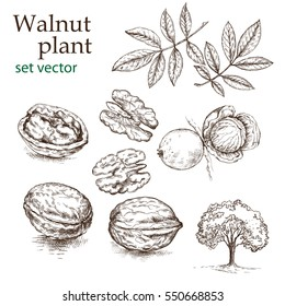 Walnut plant set. The illustration in vintage style.