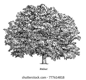 Walnut tree illustration, drawing, engraving, ink, line art, vector