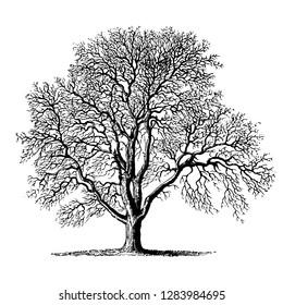 Walnut Tree Vintage Illustrations