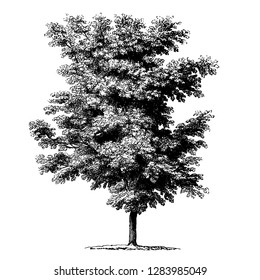 Walnut Tree Vintage Illustrations