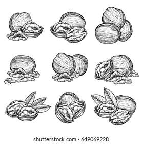 Walnut vector isolated on white background. Engraved vector illustration of leaves and nuts of walnut
